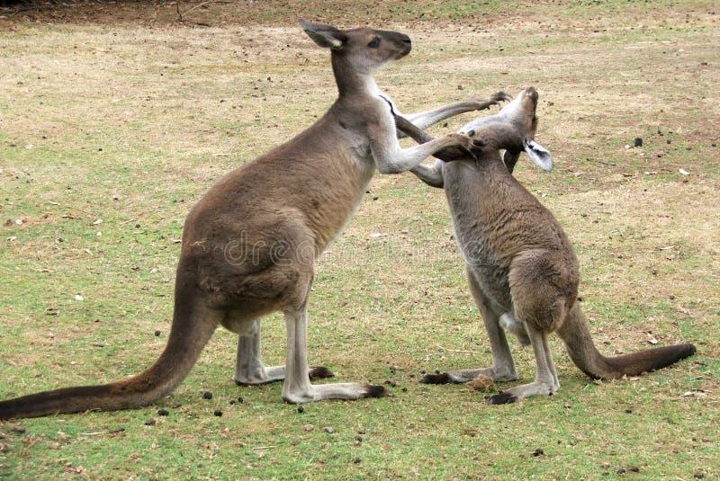 Download Animal - Kangaroo stock image. Image of kangaroo, fight - 189965
