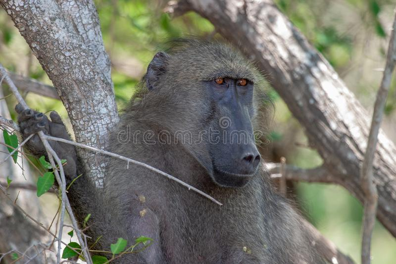 Baboon national park kruger south africa reserves and protected airs of africa stock images