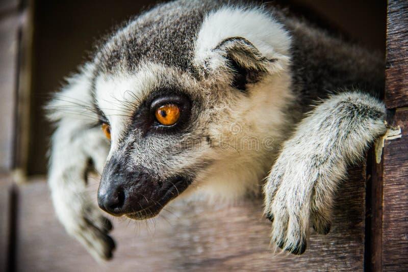 Lemurchik soft and fluffy animal. Animal Lemur Fluffy Wool Soft Madagascar Herbivorous Black White Mammals Background