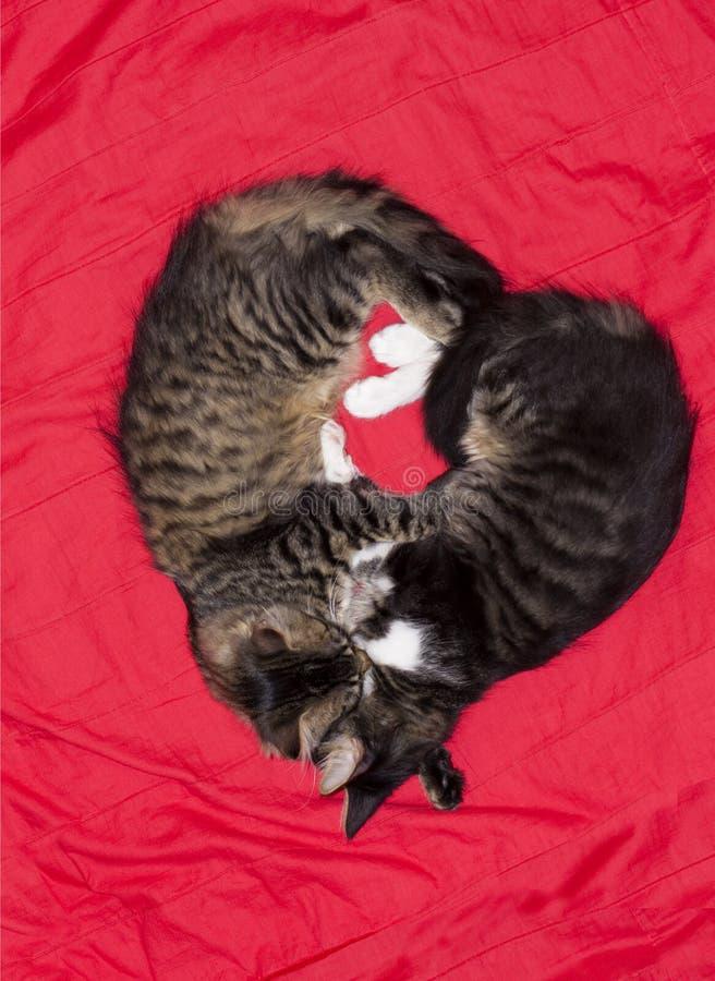 Animal lindo del amor del corazón de los pares de los gatos imagen de archivo