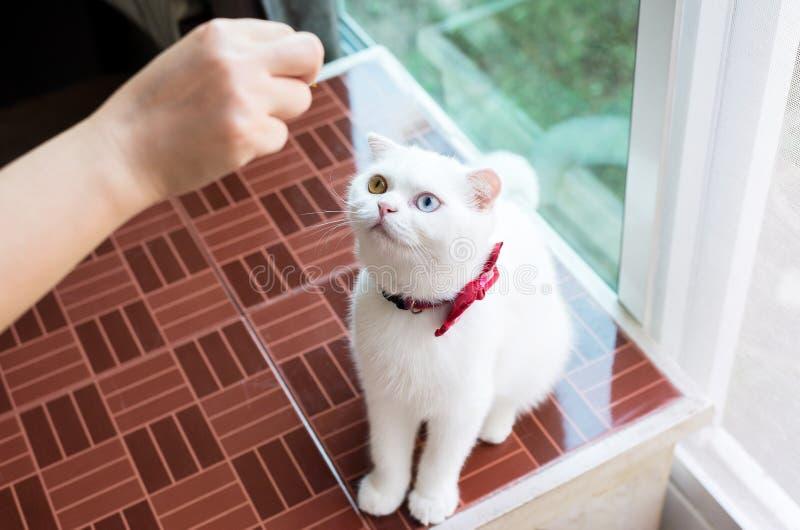 Animal lindo mullido blanco de Cat Scottish pequeño, ojos bicolores del gato comiendo la comida imagenes de archivo