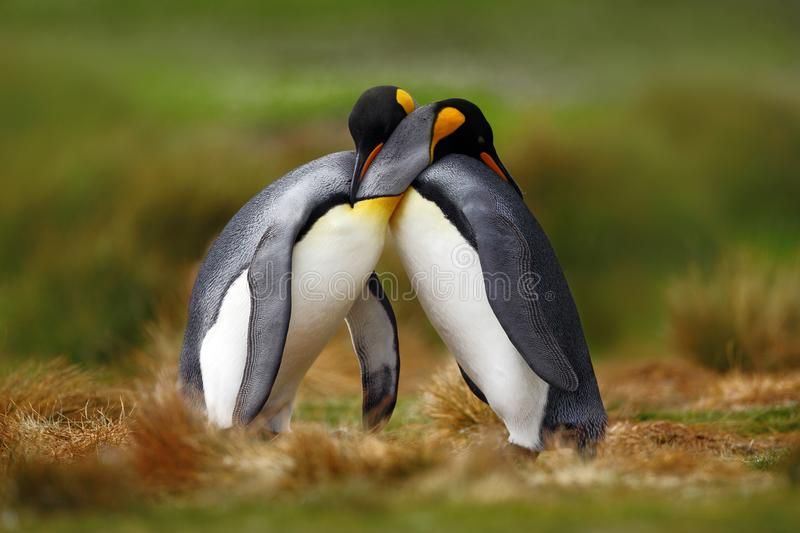 Animal love. King penguin couple cuddling, wild nature, green background. Two penguins making love. in the grass. Wildlife scene f. Rom nature, bird love royalty free stock photography