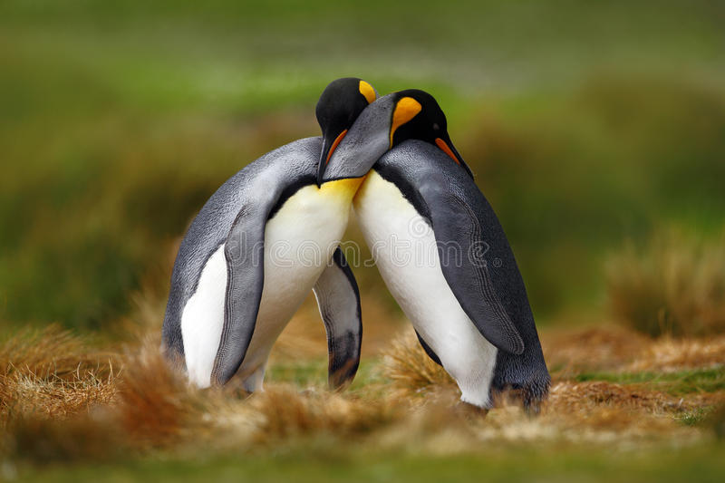 Animal love. King penguin couple cuddling, wild nature, green background. Two penguins making love. in the grass. Wildlife scene f royalty free stock photography