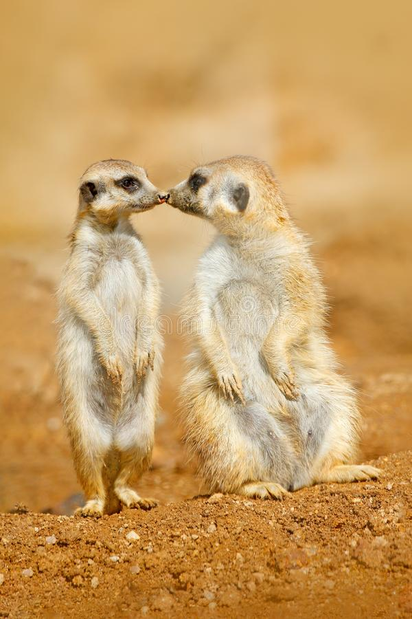 Animal love, kiss in nature. Animal family. Funny image from Africa nature. Cute Meerkat, Suricata suricatta, sitting on the stone. Namibia stock image
