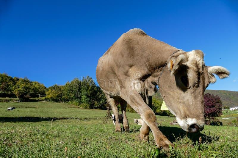 animal marrón de la vaca delante del paisaje de la montaña fotos de archivo