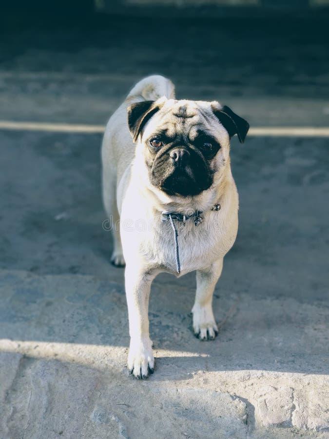 Animal mignon de chiot de seul de roquet chiot de chien photographie stock