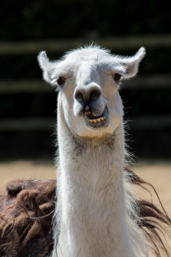Animal mudo Llama loca linda que tira de la cara Imagen divertida del meme foto de archivo