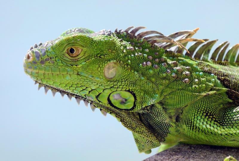 Animal multicolor hermoso masculino de la iguana verde, reptil colorido en la Florida del sur imagen de archivo