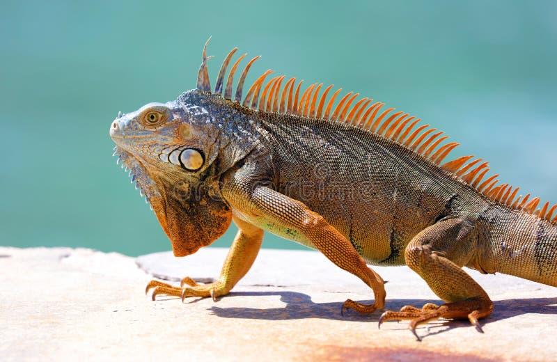 Animal multicolorido bonito masculino da iguana verde, réptil colorido em Florida sul imagens de stock royalty free
