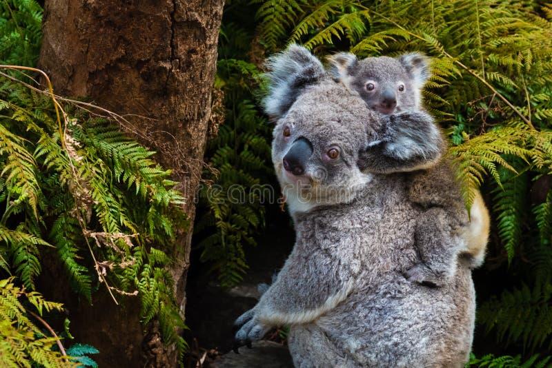 Animal nativo australiano del oso de koala con el bebé imagenes de archivo