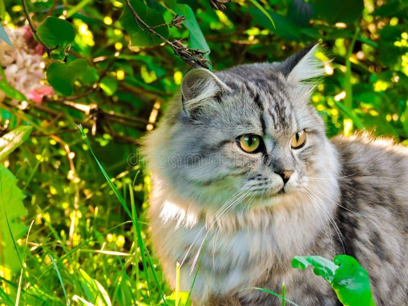 Animal no no verão Gato cinzento bonito com olhos amarelos Gato malhado bonito e gato peludo no parque Vista superior Retrato de  fotografia de stock royalty free