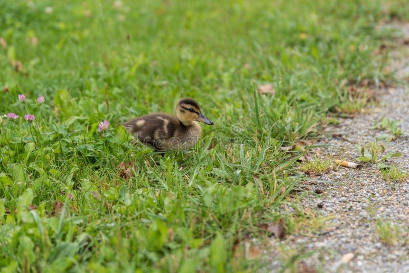 Animal novo de um pato selvagem na grama fotografia de stock