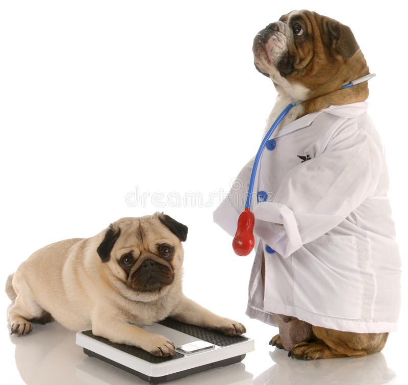 Animal obesity. Bulldog dressed up as doctor standing beside pug laying down on weigh scales