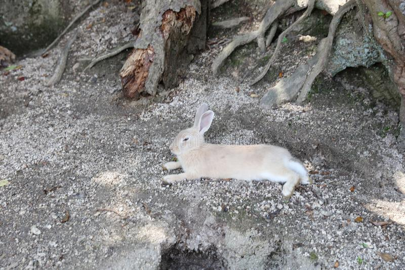 Animal at Okunoshima, Hiroshima, Japan. The animal at Okunoshima, Hiroshima, Japan stock images