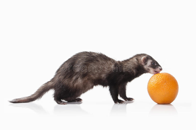 Animal. Old ferret on white background royalty free stock photo