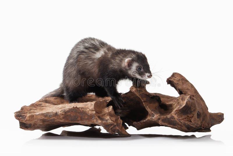 Animal. Old ferret on white background royalty free stock images