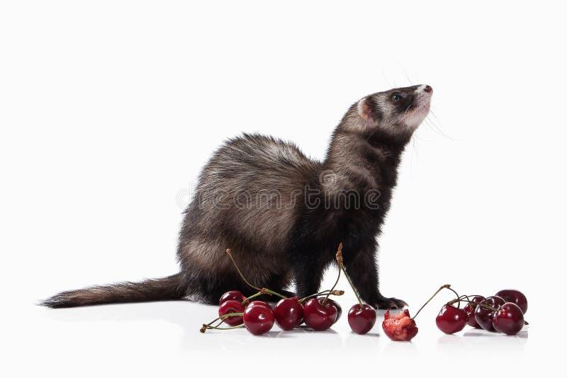 Animal. Old ferret on white background royalty free stock image