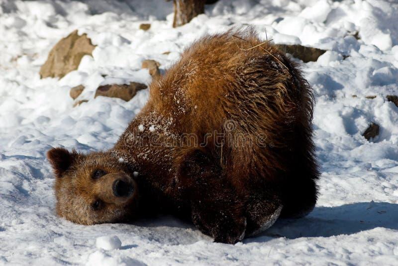 Animal - oso de Brown (horribilis de los arctos del Ursus) fotografía de archivo