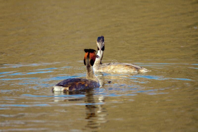 Animal pair of wild birds Podiceps cristatus floating on water royalty free stock photo