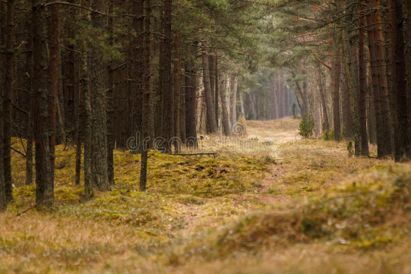 Animal path in pinewood royalty free stock photography