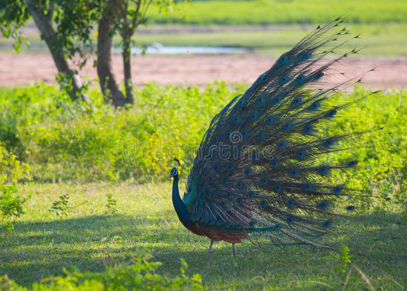 Animal. Peacock standing on the green meadow and showing feathers stock image