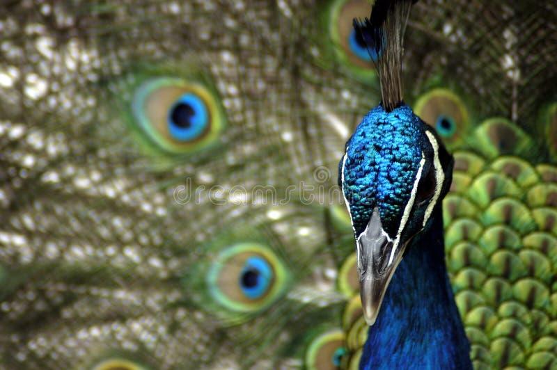 Animal - Peafowl azul indio (Pavo Cristatus) imagen de archivo