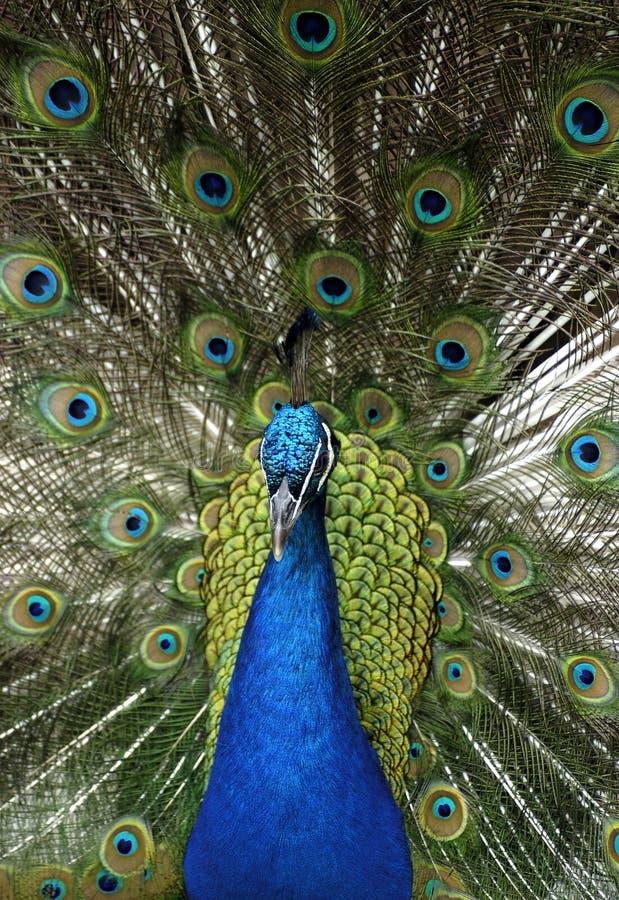 Animal - Peafowl bleu indien (Pavo Cristatus) photos stock
