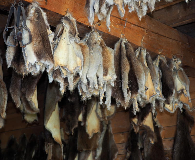 Animal Pelts Hanging On Rafters. Animal pelts hanging to cure on wooden rafters stock photos