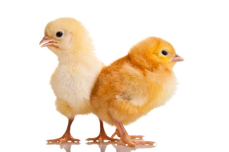 Animal pequeno da galinha isolado imagens de stock