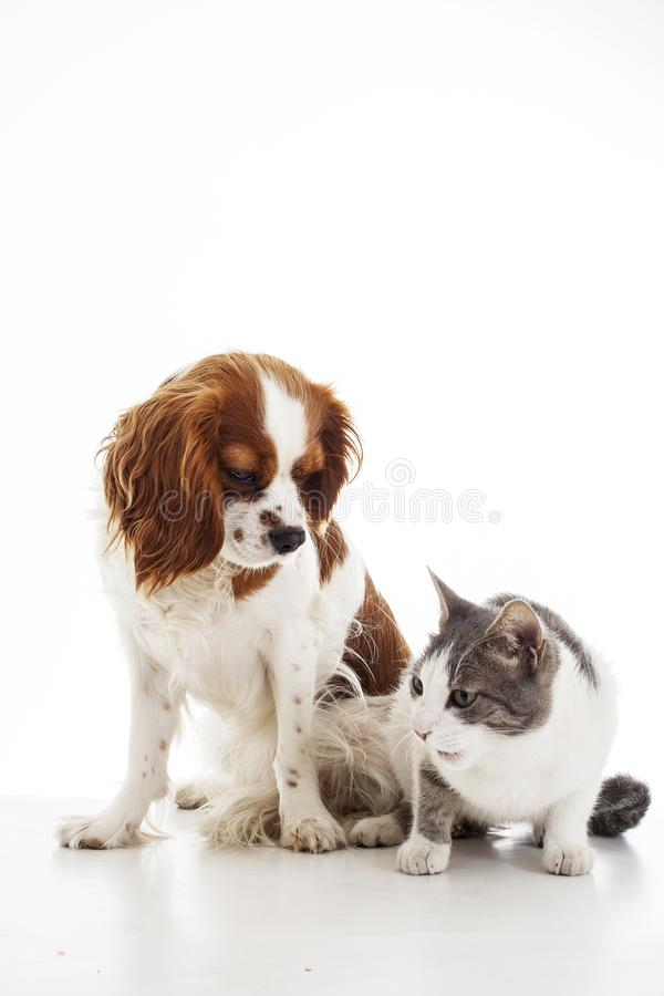 Animal pet friends. Cat and dog friends. Puppy and kitten together on white isolated studio background, royalty free stock images
