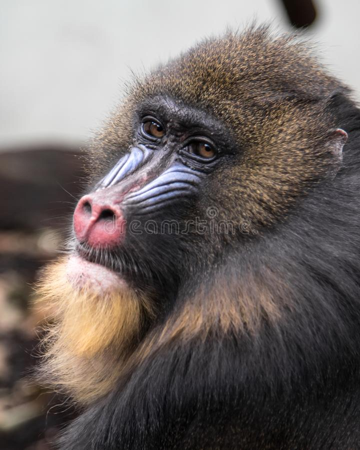 Animal, Photography, Baboon royalty free stock photo
