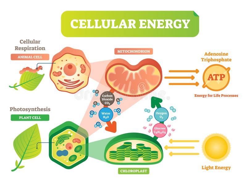 Animal and plant cell energy cycle vector illustration diagram with mitochondrion and chloroplast. Animal and plant cell energy cycle vector illustration vector illustration