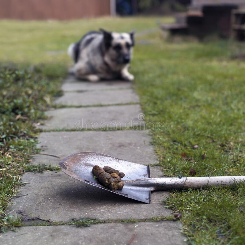 Cleaning poo after dog. Animal poo on a shovel and a dog lying guiltily in the blured background stock photos