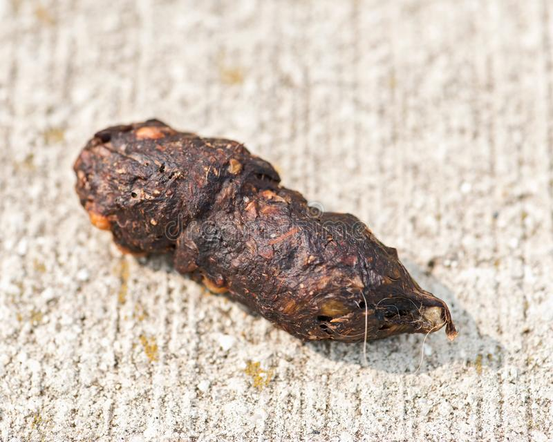 Animal poop on concrete surface by the Lake Michigan. Wildlife droppings. Feces royalty free stock photos