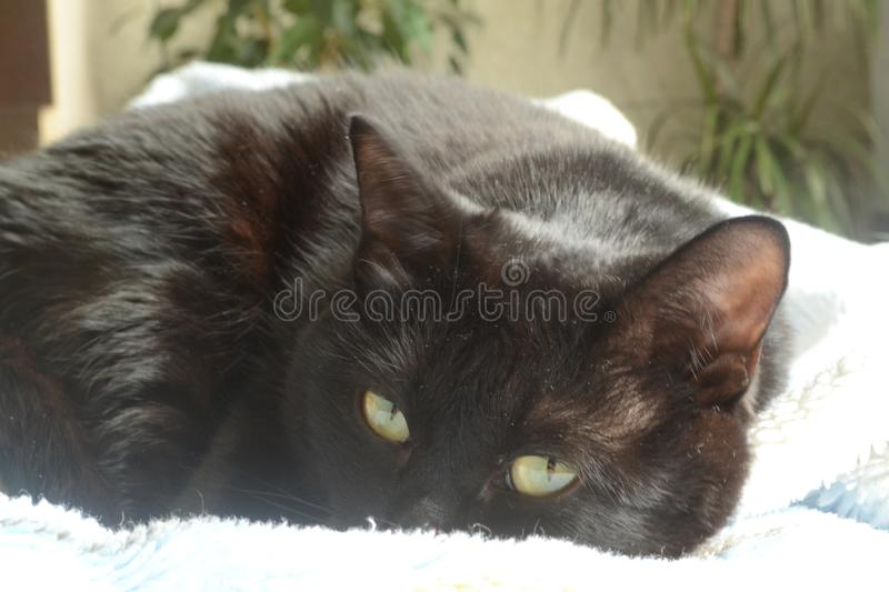 Animal portrait. Black cat curled up in a ball and looking at the camera stock photography