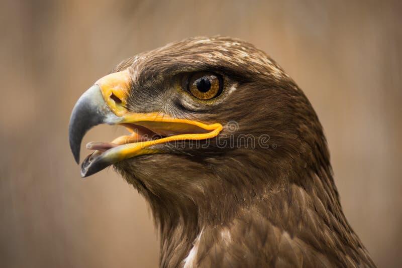 Brown eagle animal portrait stock photos