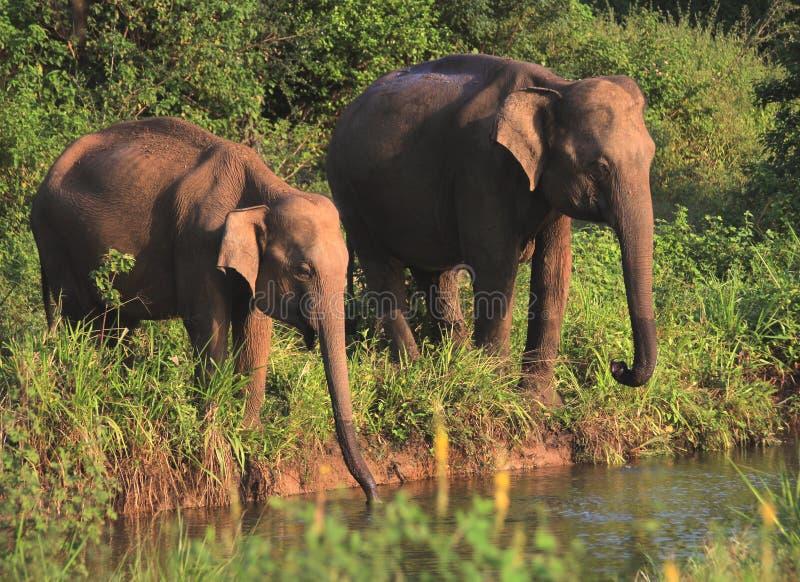 The Couple of Wild Elephants with Riverside. Animal portrait for the couple of wild elephants with riverside in Sri Lanka royalty free stock image