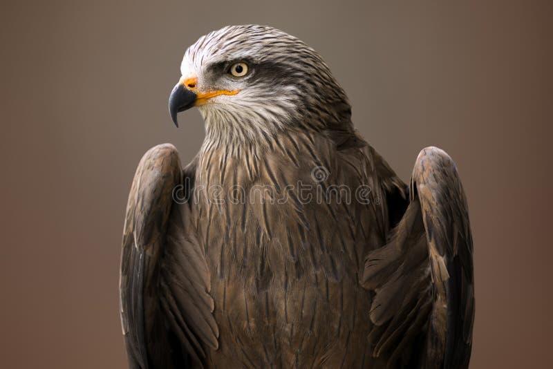 Eagle bird animal portrait royalty free stock photo