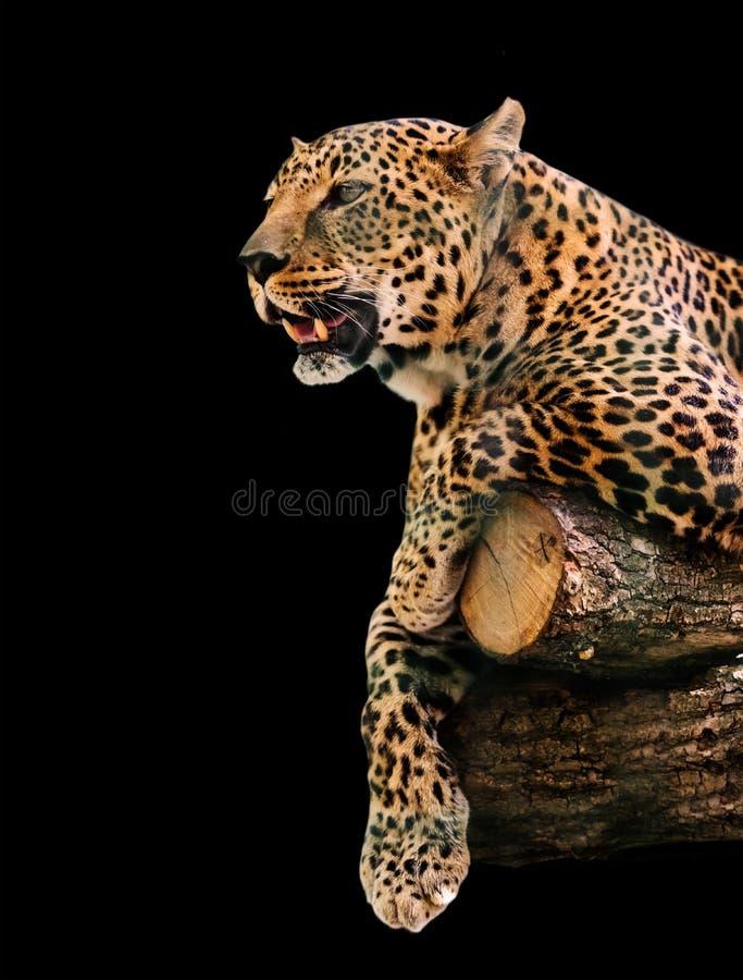 Animal portrait leopard stock images