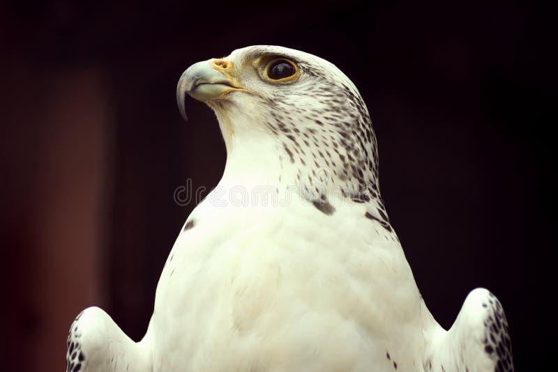White eagle peregrine falcon animal portrait stock photos