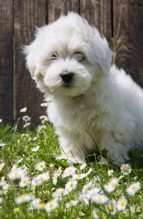 Animal pup portrait: Coton de Tuléar dog - pure white like cotton in summer. Animal pup portrait: Coton de Tuléar dog - pure white like cotton in summer stock photo