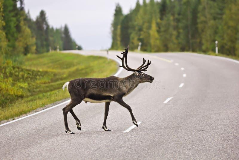 Animal que cruza el camino - contenga los ciervos en Suecia fotografía de archivo libre de regalías