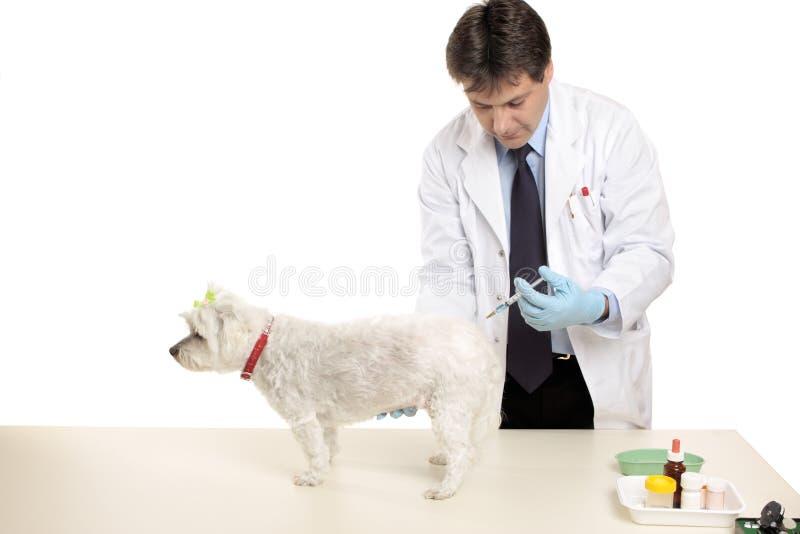 Animal que recibe una inyección imagenes de archivo