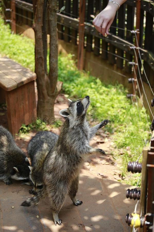An animal of the raccoon family of the genus Ursus. From North America, because the food is washed in the water before eating, hen stock photography