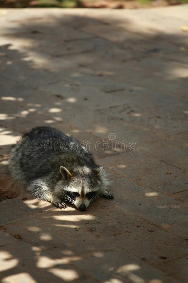 An animal of the raccoon family of the genus Ursus. From North America, because the food is washed in the water before eating, hen stock image