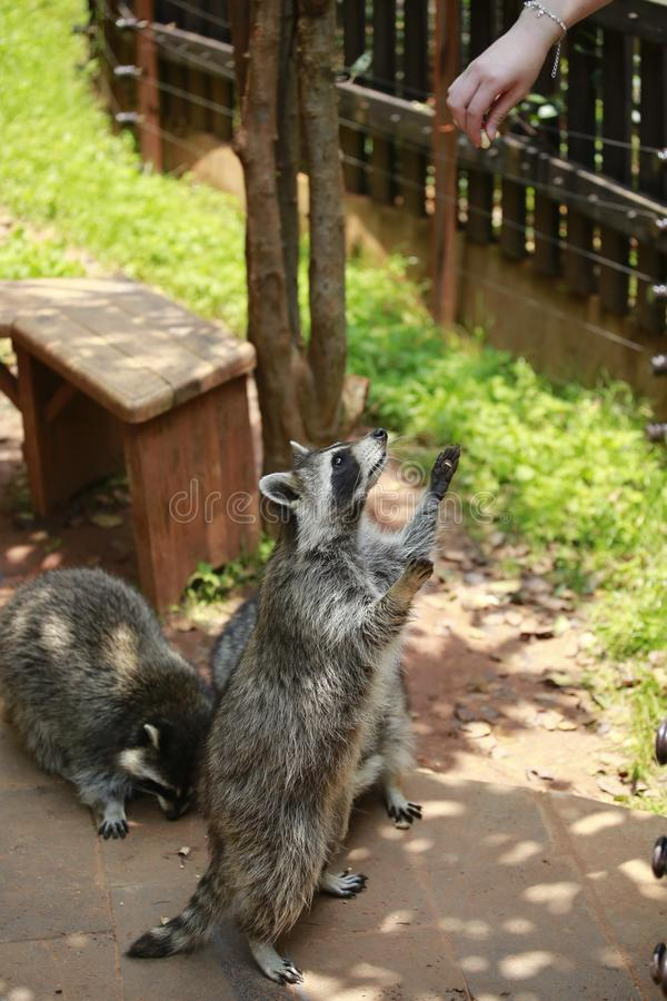 An animal of the raccoon family of the genus Ursus. From North America, because the food is washed in the water before eating, hen royalty free stock photos