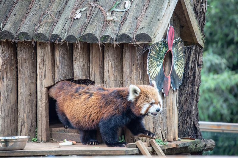 An animal of the raccoon family of the genus Ursus. From North America, because the food is washed in the water before eating, hen stock photo