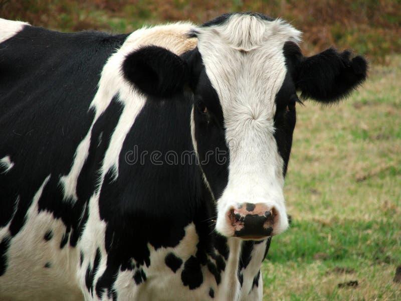 Animal - regard de vache à vous image stock