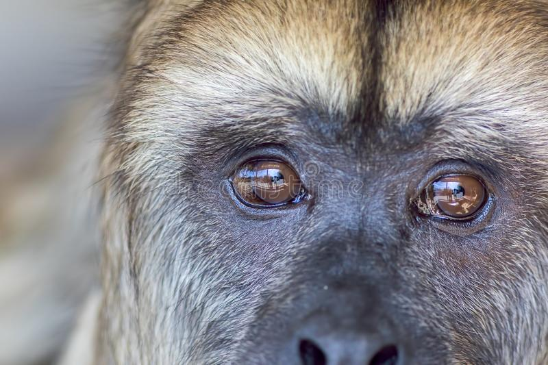 Animal rights. Sad expression on the face of rescued captive how. Ler monkey with reflection of captivity enclosure in its eyes. Close up of thinking animal royalty free stock photography