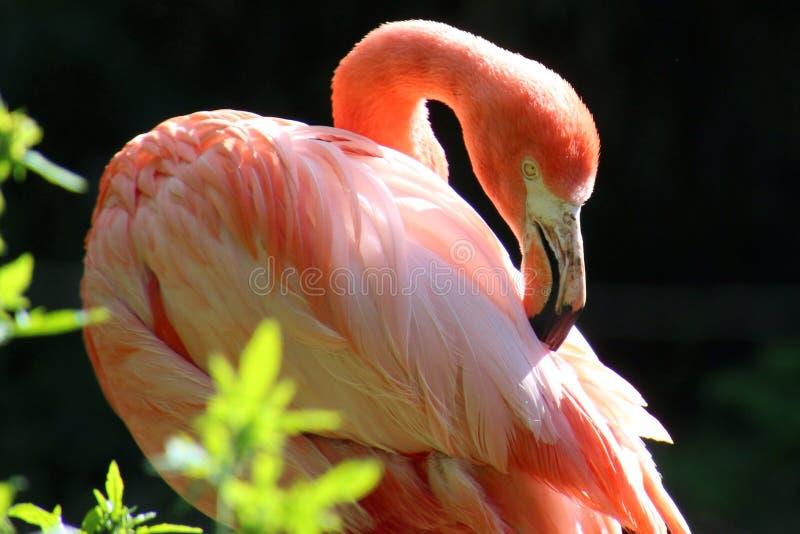 Animal rosado del flamenco imagenes de archivo
